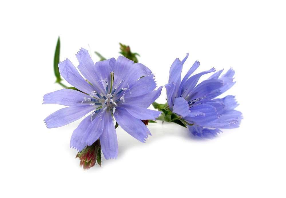 La fleur de bach chicory ou chicor e for Fleurs internet