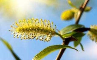 La Fleur De Bach Willow Ou Saule